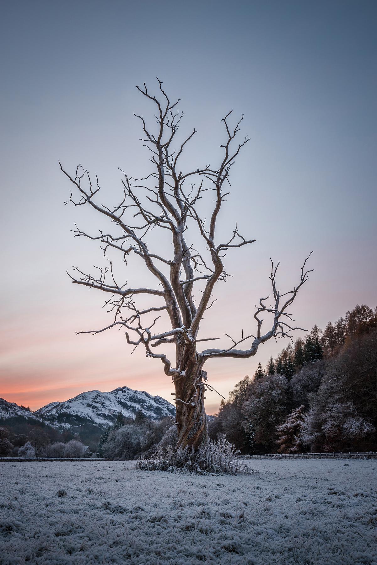 Der alte Baum, Dunira, Strathearn, Schottland
