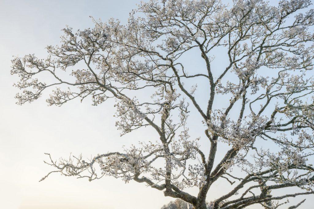 Vereiste Baumspitze, Strathearn, Perthshire