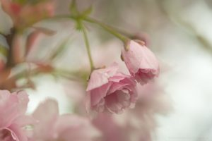 Kirschblüten Knospen