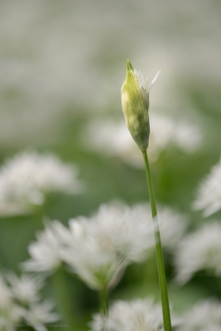 Emerging Wild Garlic