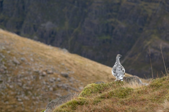 Moorschneehuhn am Pass, Applecross