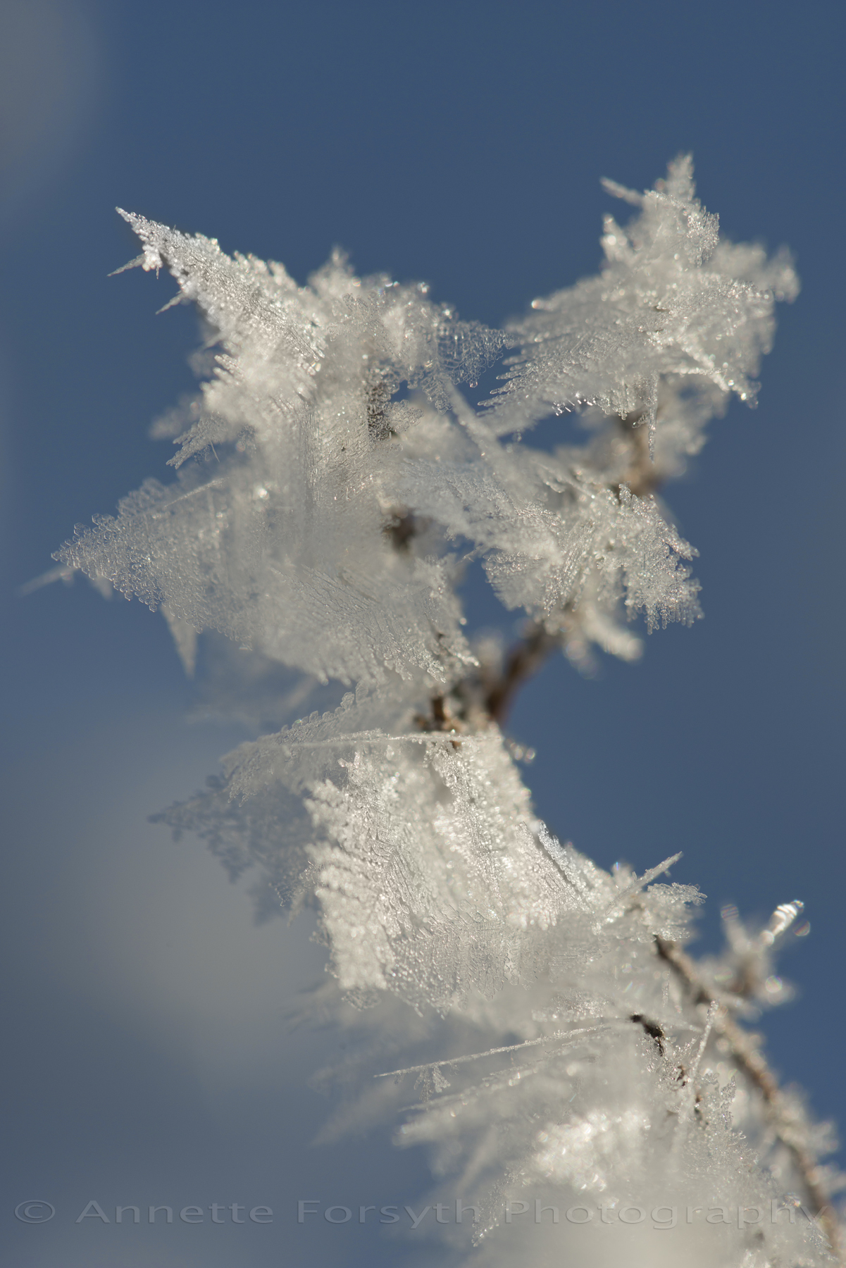Frosty Lace