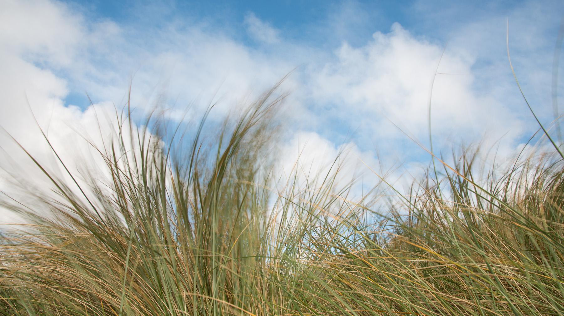 Dünengras im Wind