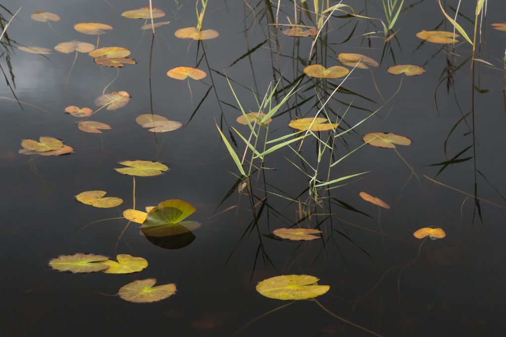 Seelilien