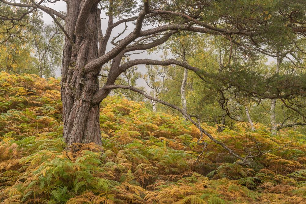 Nebliger Farnwald an den Flanken von Beinn Eighe