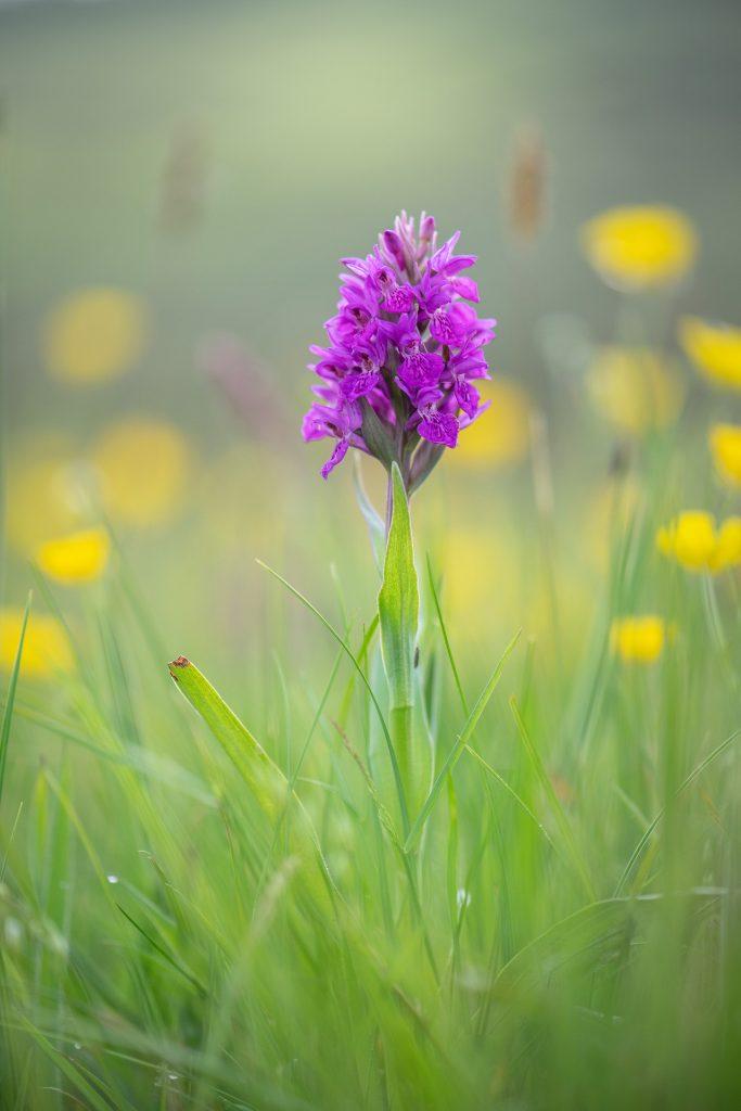 Wilde Orchideen sind im Juni zahlreich